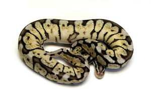 PWR Ball Python Availability