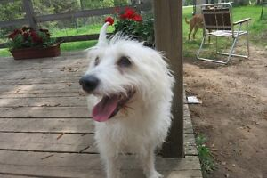BENJI - Terrier Cross Rescue Dog Available for Adoption