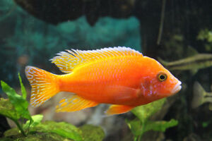 CHEAP!Aquarium Cichlids Aulonocara