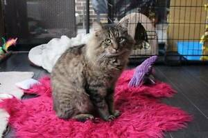 Ty - Cat For Adoption - Cheltenham Cat Rescue Diggers Rest Melton Area Preview