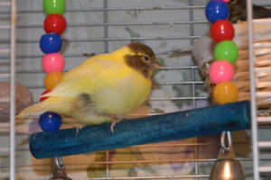 Fancy baby Canaries for sale