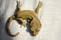 Gecko à crête + terrarium
