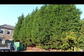 Evergreen trees / hedging wanted.