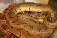 Ball Python *PACKAGE DEAL*
