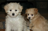 Playful Hypoallergenic Malti-Poo (Maltese and Poodle)