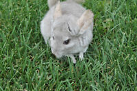 Chinchilla with cage