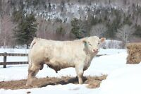 Purebred Charolais Yearling Bull for sale