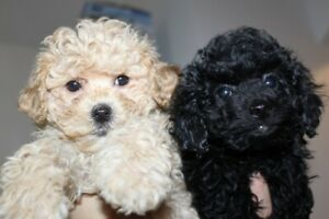 Beautiful 5 months old  poodle puppies
