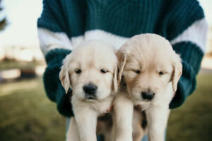 Golden Retriever Puppies!!!