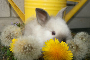 Adorable Lionhead Bunny (Rabbit)