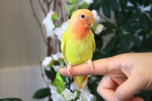 Rare, super tame Opaline Peach face Lutino baby lovebird!