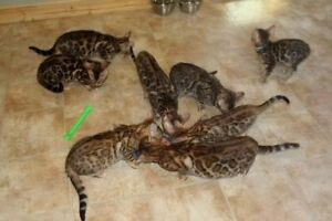 Top Breeder Canada Registered BENGALS just look at the Beauty