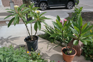 Plumeria  Tropical Hawaiian Flower Plant (Yellow or Red)