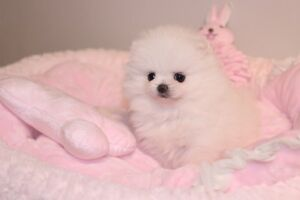Tiny teacup white poms for sale