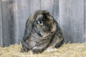 Purebred Holland Lop Buck
