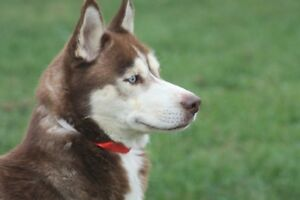 ADOPTABLE SIBERIAN HUSKY OR CO. VISIT THE CARES K-9 ORPHANAGE !!