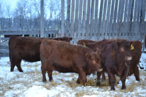 Red Angus Open Replacement Heifers