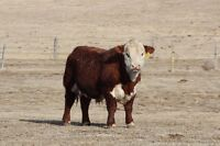 Hereford and Angus bulls for sale by private treaty