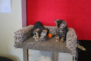 2 Marble Bengal Boys for Sale (Brothers)