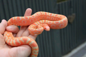 LOOKING FOR: Corn snakes with enclosures