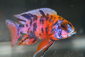 """Variety of cichlids, 2"""" to 3"""", sex-mixed, 10 fish for $20"""