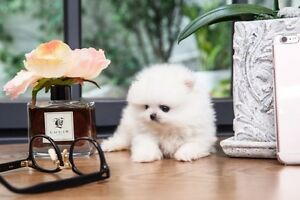 ◆◆ Super Tiny Micro Teacup Pomeranian looking for new home ◆◆