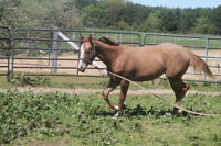 Appaloosa yearling Filly