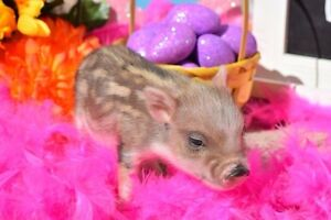 Mini Pet Pigs from a Registered Breeder!