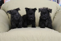 SCOTTISH TERRIER X PUPPIES - Available NOW!!!