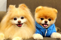 I've been looking for a Pomerania