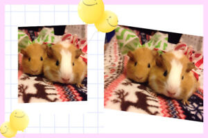 two small  guinea pigs for sale