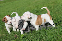 Registered American Bulldog Pup - Outstanding bloodlines