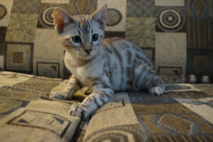 High quality snow, silver and brown Bengal kittens - chatons