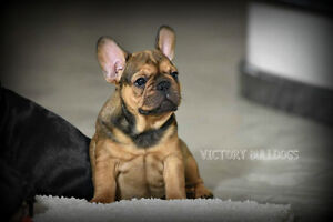 Top Quality CKC Reg'd French Bulldog Puppies Blue and Standards London Ontario image 7