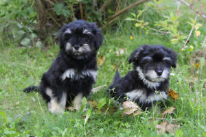 Havanese | Adopt Dogs & Puppies Locally in Alberta | Kijiji