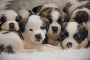 Adorable Saint Bernard / St Bernard Puppies for Sale