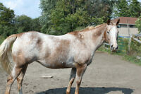 Appaloosa Broodmares