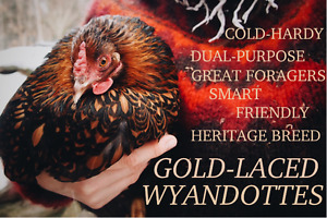 Gold-Laced Wyandotte Chicks and Pullets
