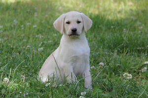 Purebred CKC registered yellow Labrador retriever puppies