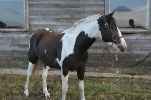 wonderful, loving pony! Strathcona County Edmonton Area image 3