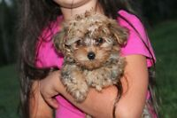 Adorable Yorkie Poo puppies looking for their new homes