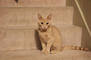 Tigger, Young Kitty for Adoption with KLAWS