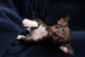 Chihuahua Puppies for Sale!