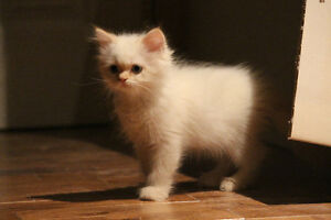Chatons himalayens pure race West Island Greater Montréal image 10