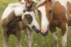 REGISTERED APHA FOALS and MARES