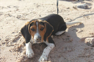 Beagle pup looking for forever home.