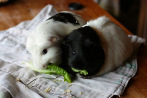 2 Guinea Pigs with cage and all supplies