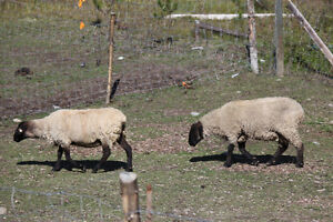 Wanted- Suffolk ewes