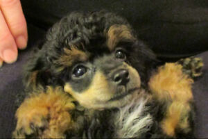 Poodle Breeders Adopt Dogs Puppies Locally In British