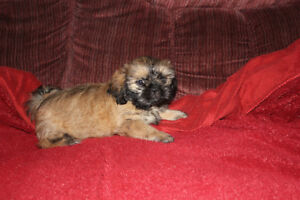 Shih tzu puppies -1 little boy